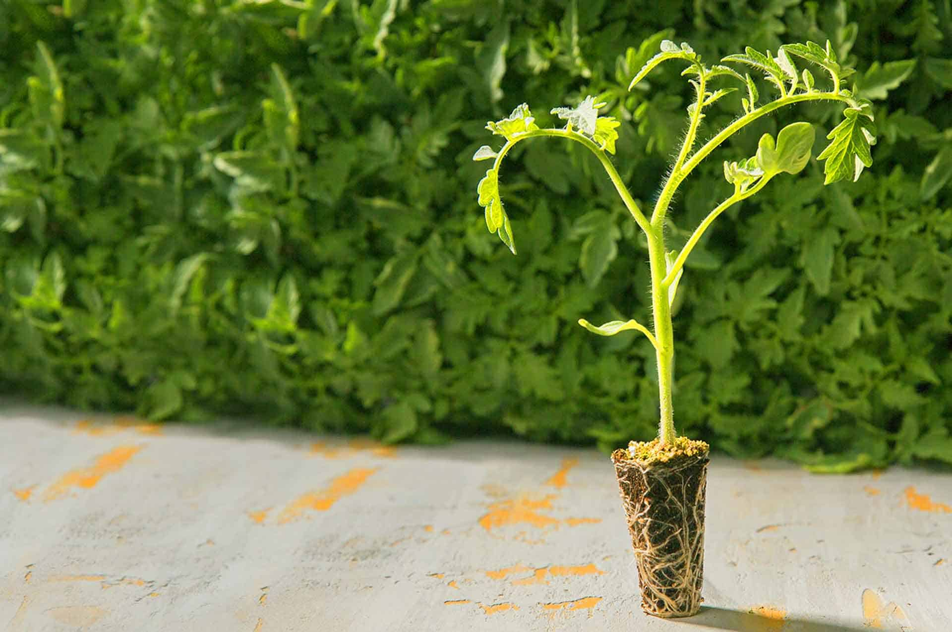 GRAFTED TOMATO SEEDLINGS